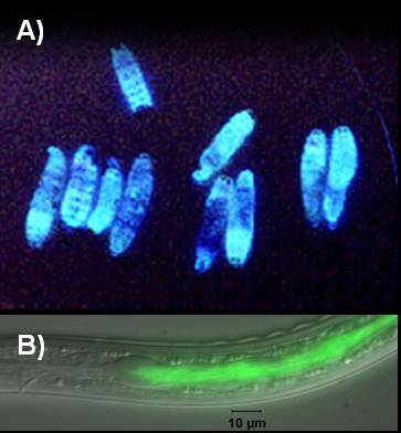 These are examples of the glowing bacteria in waxworms (A), and how the bacteria glows in the guts of the nematode (B).  (Image courtesy Todd Ciche,Department of Microbiology and Molecular Genetics, Michigan State University, East Lansing, MI 48824 USA)