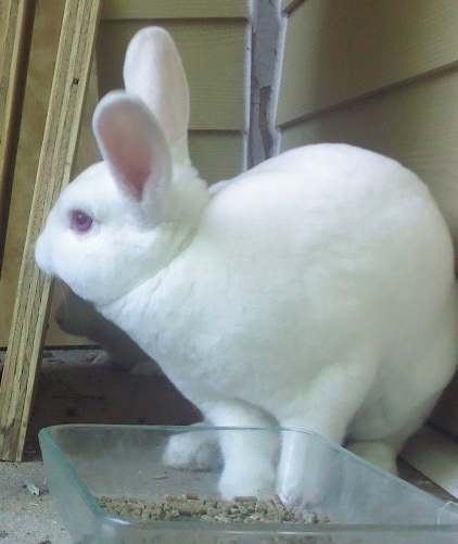 This is Steak! My big Rex rabbit