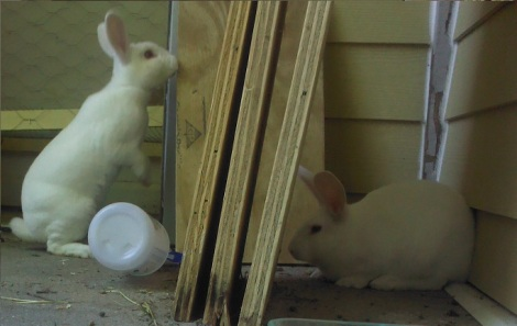 These are Steak and Baby, the two rabbits