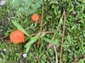 Neon orange mushrooms