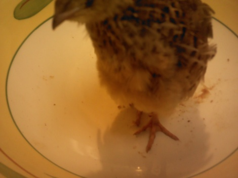 These were the blonde quails that I brought home.