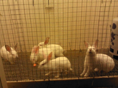 These are the five new bunnies in the hutch I built for them.