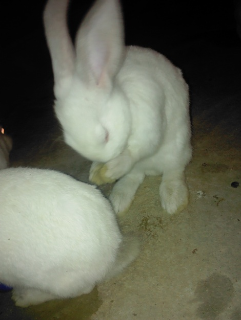 These are the rapidly growing rabbits, cleaning his own face and ears.