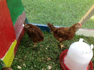 Happy and growing chickens!