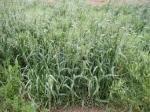 Oat, non legume cover crop