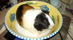 This is Butters, a 1.88 lb female guinea pig.
