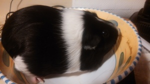 This is the 2.29 lb guinea pig called Ethel.