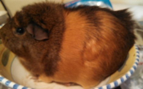 This is Pink, a 2.27 lb caramel and chocolate female with a mohawk.