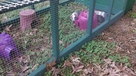 This is a shot of the Guinea Pigs in their new run.