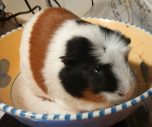This is Brutus, a 2.05 lb male guinea pig from Farmville.