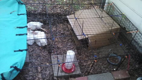Re-purposed C&C cage that is now used to house meat chickens in the back yard.