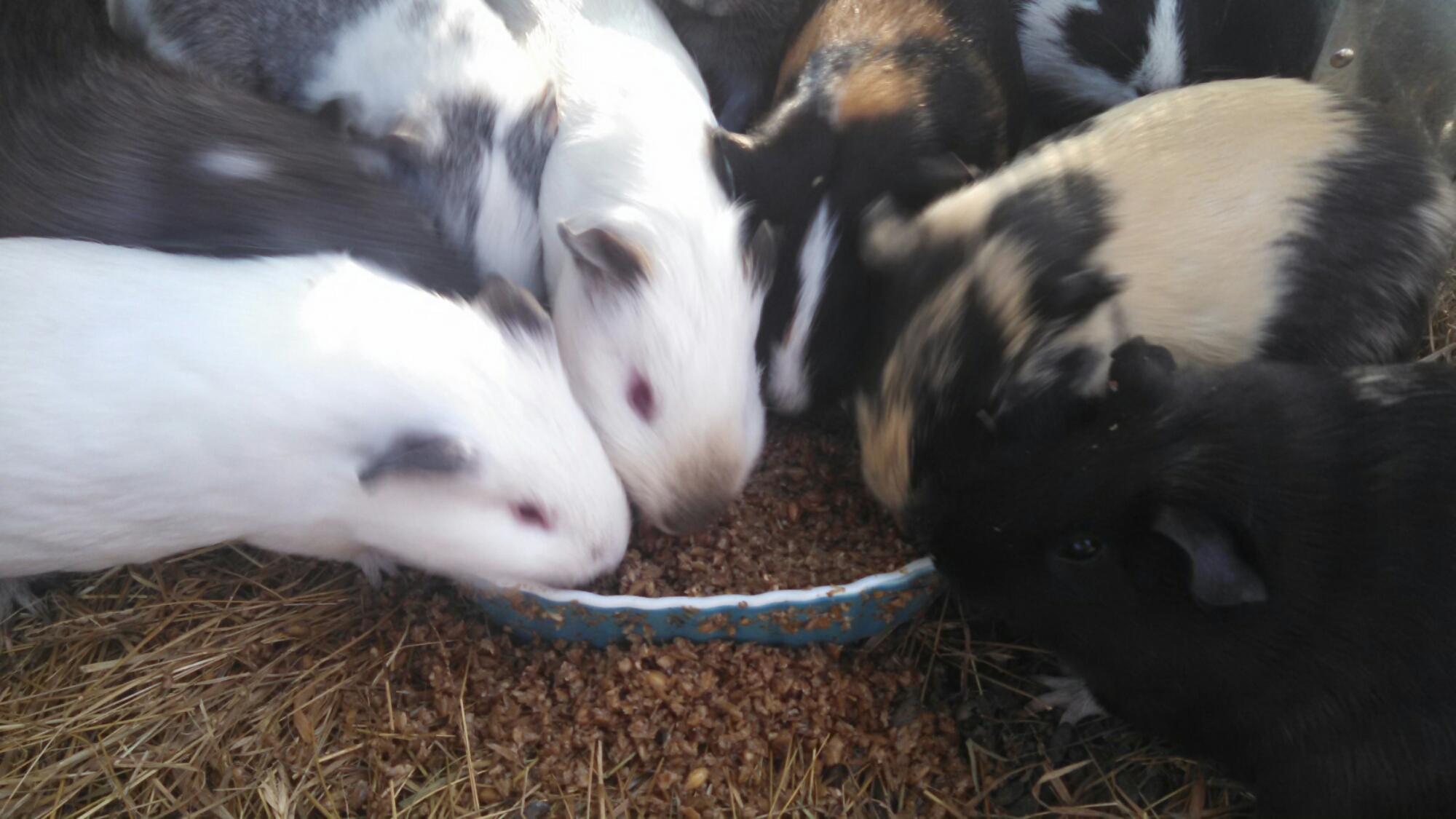 rabbits vs guinea pigs for meat costs and considerations part 1